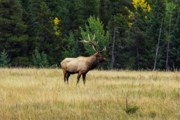 Banff Elk Meadow